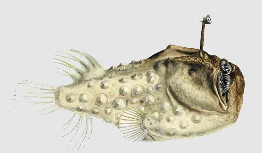 les-poissons-pêcheurs-fusionnent-leurs-corps-pour-accoupler