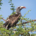 African Grey Hornbill Perched On The Top Of An Umbrella Thorn Acacia Tree