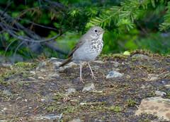 Hermit Thrush-Idaho Panhandle NF, ID-6-29-2020