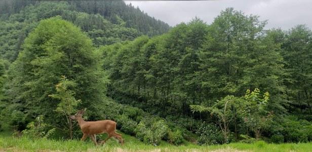 Deer on Hydrangea Ranch