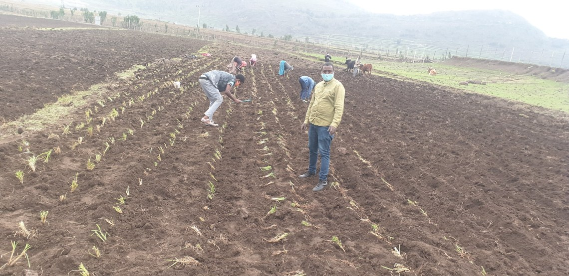 Undeterred by COVID-19 challenges, Africa RISING partners and farmers plant Desho grass in Tigray, Ethiopia while observing all safety protocols. Photo credit: Haimanot Seifu/ILRI.