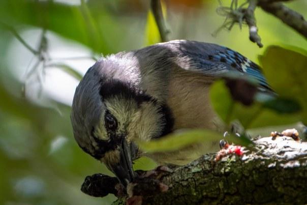 Yard bird: Bluejay