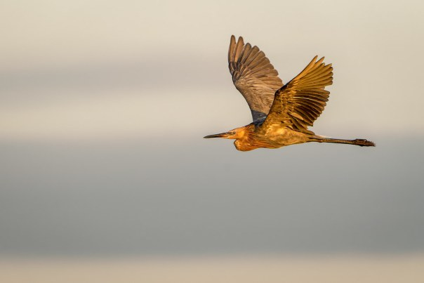 Pretty light on a Reddish Egret in flight