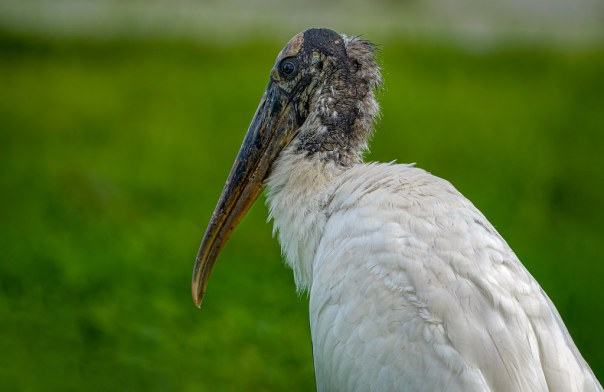 A portrait of a stork as a young(?) bird