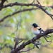 Brambling - Bergfink