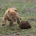 A Curious Young Lion Cub Sees Its First Elephant Dung