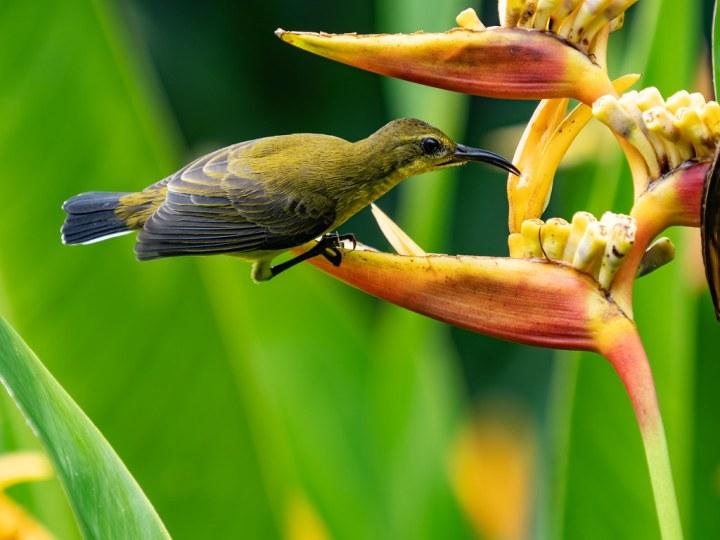 Olive-backed Sunbird | Botanic Garden