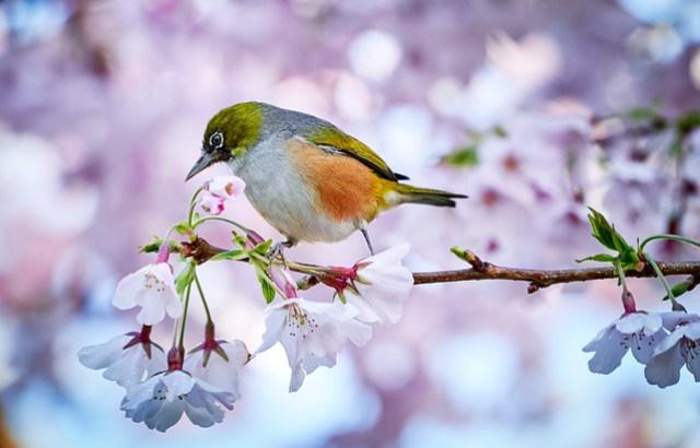Silvereye feeding on cherry blossoms