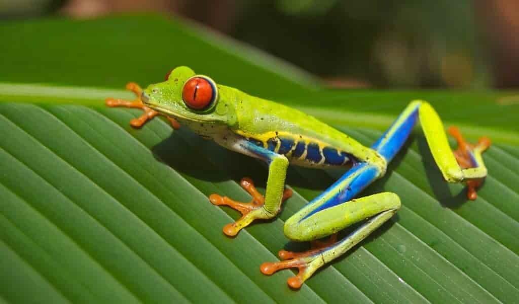 des-grenouilles-ont-des-yeux-trop-grands-pour-leur-corps