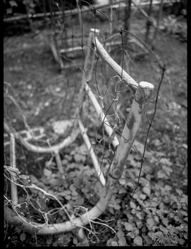 found steel structure, improvised trellis, barren in autumn, Burton Street Peace Garden, Asheville, NC, Mamiya 645 Pro, mamiya sekor 45mm f-2.8, Fomapan 200, HC-110 developer, 9.19.20