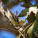 Blackburnian Warbler 185  Madrona Marsh parking lot Southern California_