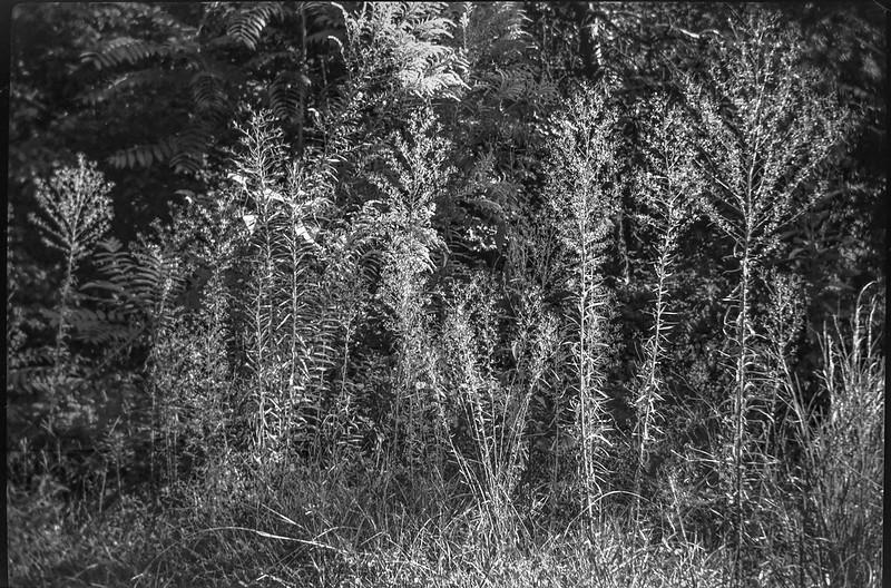 tall weeds, forest's edge, Asheville, NC, No. 1 Autographic Kodak Jr., Rollei Super Pan 200, HC-110 developer, 9.24.20
