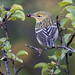 Blackpoll Warbler with breakfast