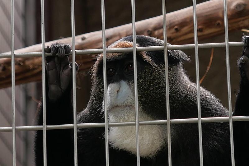 De Brazza's Monkey ブラッザグエノン