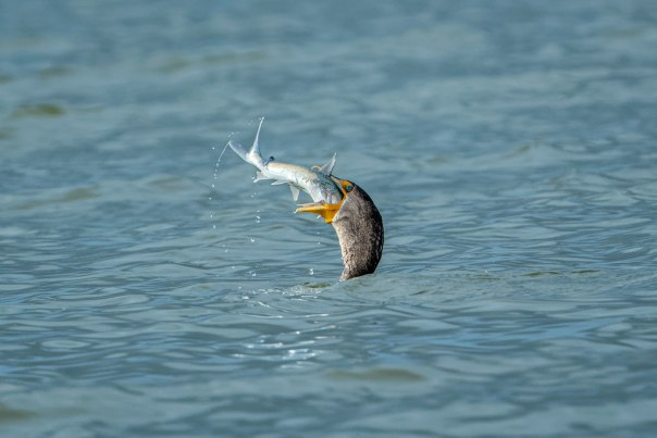 Cormorant vs. fish