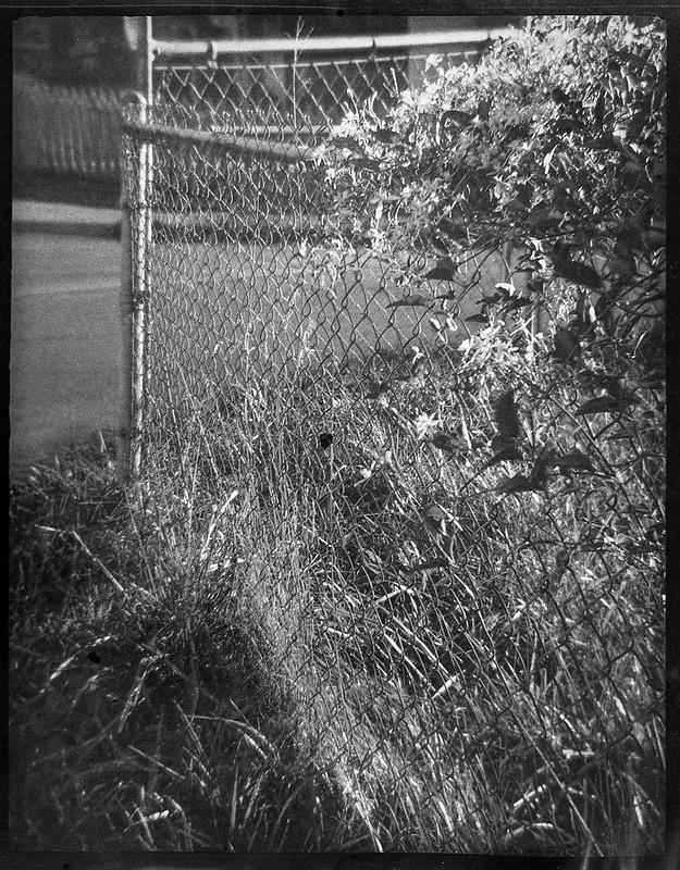 tiny blossoms, metal fence, corner, late light, Asheville, NC, Ferrania Tanit, Fomapan 400, Moersch Eco Film developer, 10.10.20