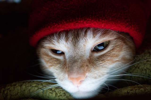 Tabby Cat in a Red Hat