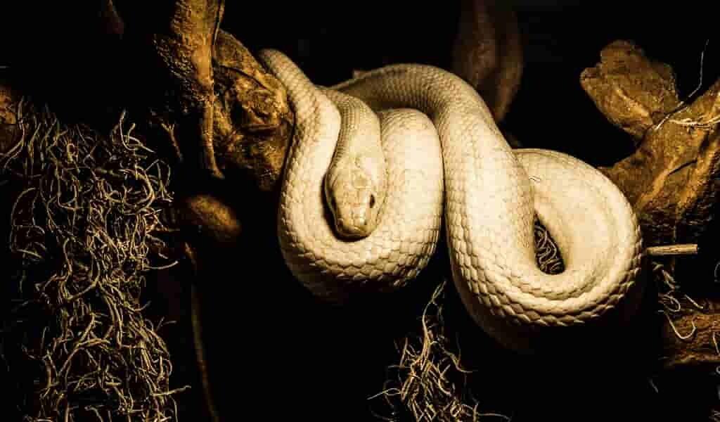 un-python-a-essayé-de-manger-une-femme-endormie