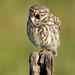 Steenuil / Little Owl / Chevêche d'Athéna
