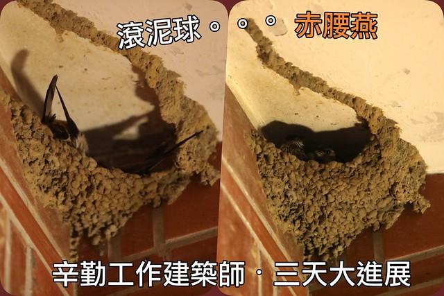 赤腰燕夫妻蓋泥窩。麻雀二次入住