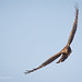 Female Harrier Uses Long Wings To Suddenly Change Its Flight Direction