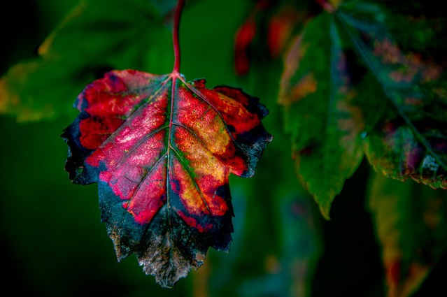 A very vibrant fall leaf.