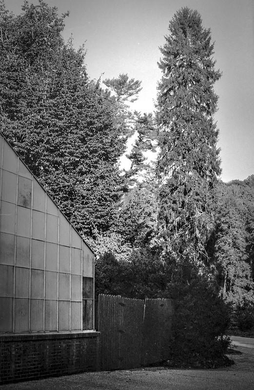 towering conifer tree, greenhouse, late light, Biltmore Estate, Asheville, NC, FED 4, Industar 61, Kodak Tri-X 400, HCC-110 developer, 10.16.20