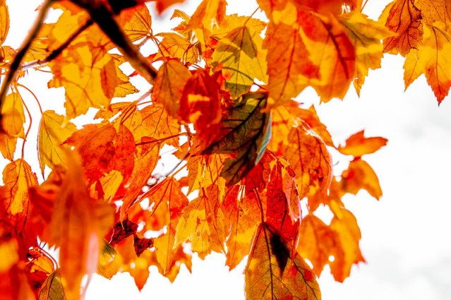 yellow and orange leaves, blank sky.