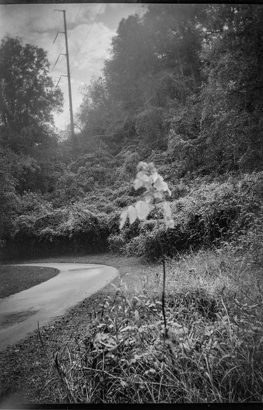 autumn sapling II, urban park, pathway, powerline, Hominy Creek River Park, Asheville, NC, Goerz Box Tengor, Arista.Edu 200, Moersch Eco film developer, 10.23.20