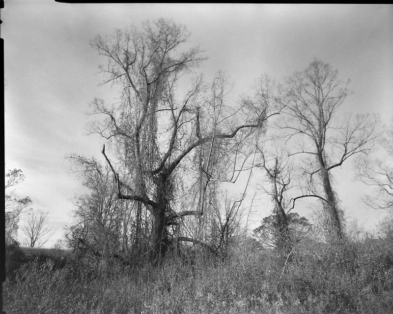 early winter landscape, bare trees, Biltmore Estate, Asheville, NC, Graflex Crown Graphic, Graflex Optar 90mm f-6.8, Bergger Pancro 400, HC-110 developer, 10.31.20