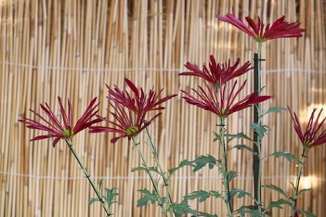 肥後菊  Higo-chrysanthemums
