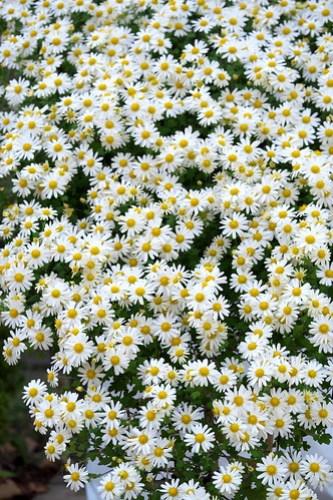 懸崖の菊 Chrysanthemum on the cliff