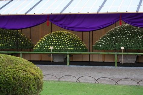 国花としての菊です Chrysanthemum as a national flower