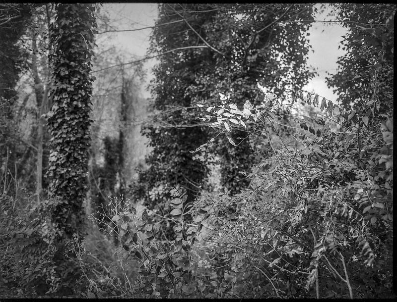 rhyhthmic sequence, ivy-covered tree trunks, near dusk, grounds, Kenilworth Inn, Asheville, NC, Mamiya 645 Pro, mamiya sekkor 45mm f-2.8, Foma 400, HC-110 developer, 11.10.20 (1 of 1)