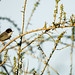 Samtkopf-Grasmücke - Sardinian Warbler