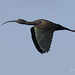 Glossy Ibis In Flight With Wings Down