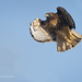 Red-tailed Hawk About To Thrust Out Its Wings To Launch Itself Into Flight