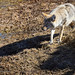 A Coyote Casts A Its Shadow As It Steps Out From The Cut Bank Of The Yellowstone River
