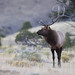 Young Male Rocky Mountain Elk In The Sagebrush Hills Above Gardiner Montana