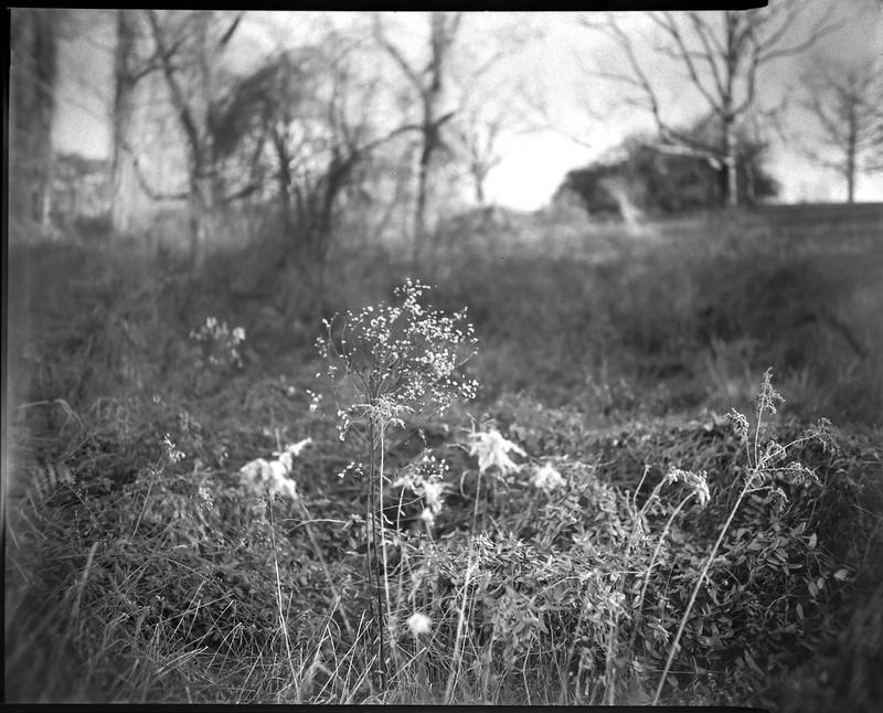 dried wildflowers, weeds, hillside, Biltmore Estate, Asheville, NC, Graflex Crown Graphic, C P GOERZ DOGMAR 125 mm f4.5, Fomapan 400, HC-110 developer, 12.5.20