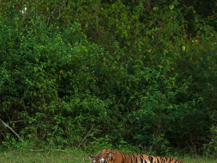 Tiger Resting Vertical