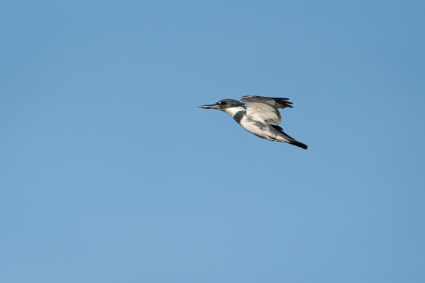 Belted Kingfisher 3