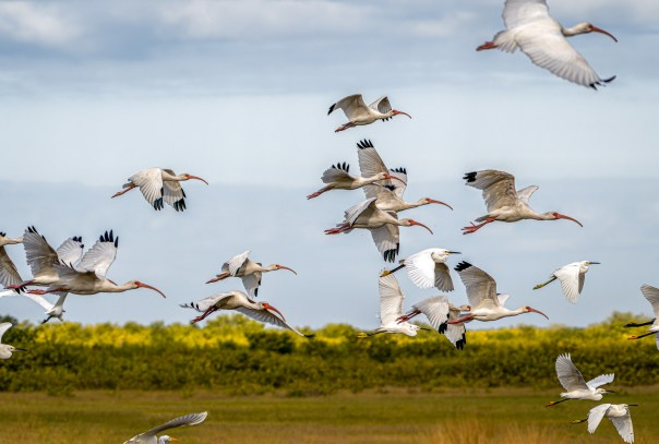Ibises and Egrets