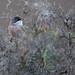 Spectacled Warbler - Brillengrasmücke