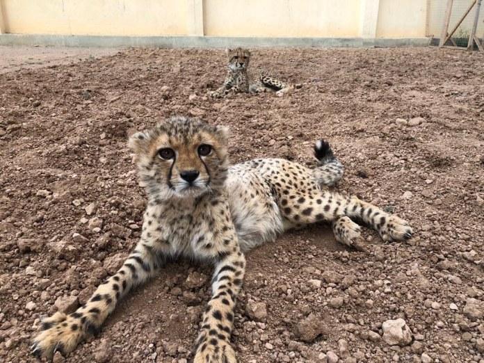 0 獵豹保育基金會庇護所收容的2隻獵豹。影像來源:獵豹保育基金會勞莉·馬克爾博士