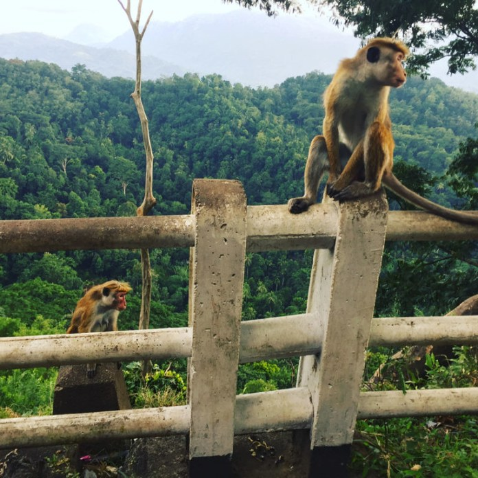 1 斯里蘭卡特有種蘭卡獼猴(Toque macaques )在通往舊首都康提(Kandy)的路上。影像提供:Dennis Mombauer。