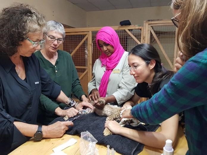 9 獵豹保育基金會執行長馬克爾和索馬利蘭分部的獸醫團隊照顧一隻幼豹。影像來源:詹姆士・楊(James Young)獵豹保育基金會