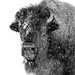 Bison in snow black and white