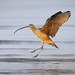Landing Long-billed Curlew With Wings Back And Legs Bracing For Impact