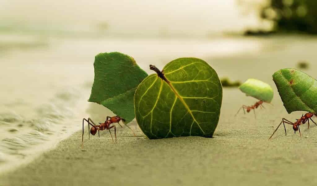 un-nouvel-antifongique-provenant-des-fourmis